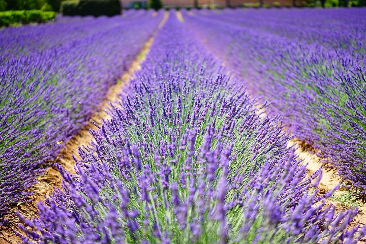PrintPhotos Lavender 02