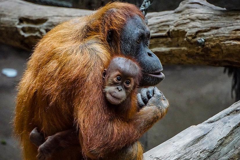 PrintPhotos Orangutan 01