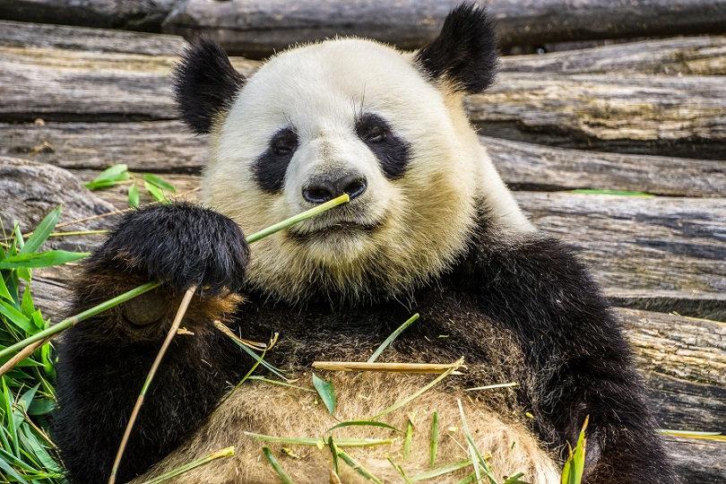PrintPhotos Panda 01
