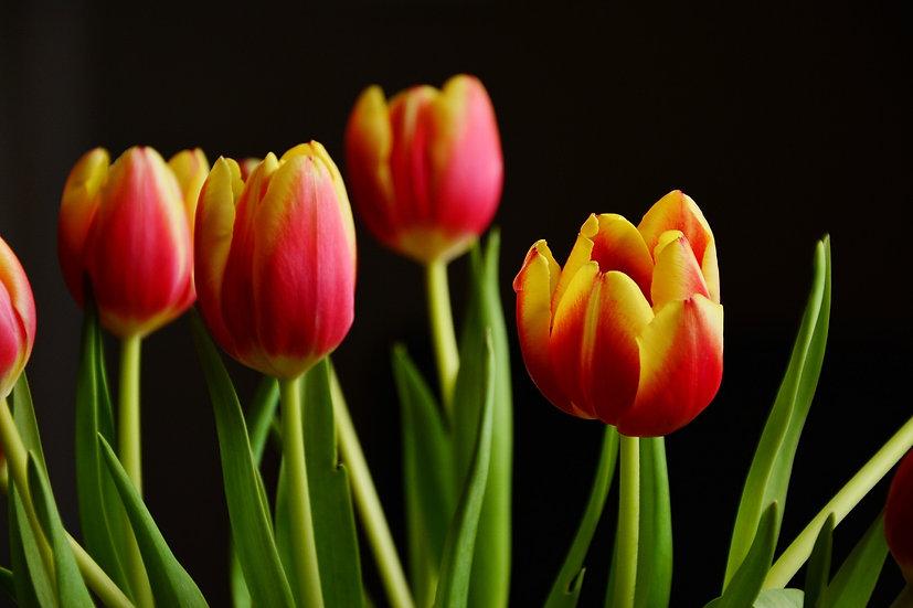 PrintPhotos Tulip 02