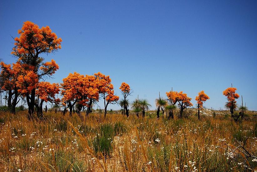 Christmas Trees - Yanchep - Western Australia