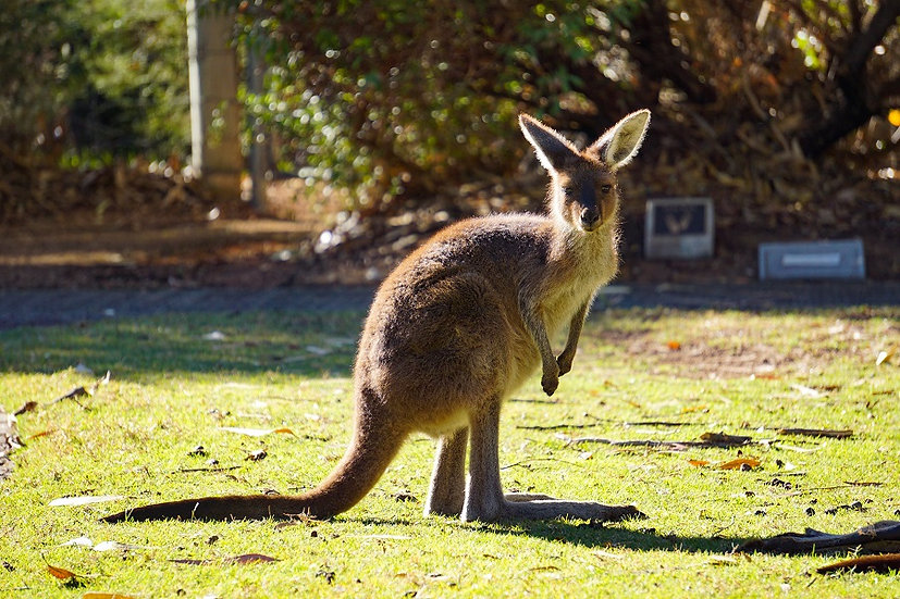 Kangaroo 01