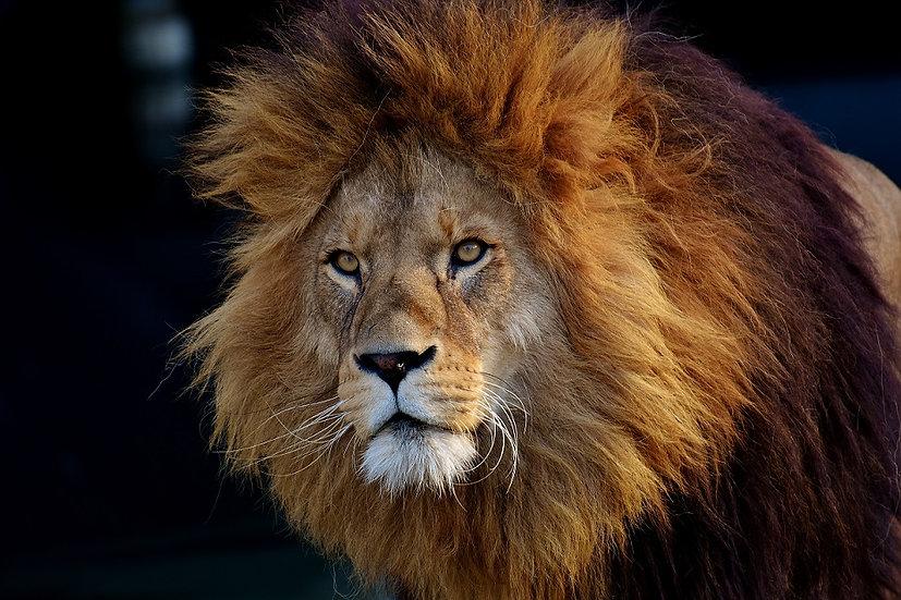 PrintPhotos Lion 02