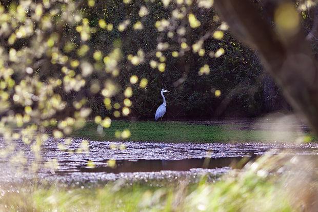 Heron Maidenbower Pond-1.jpg
