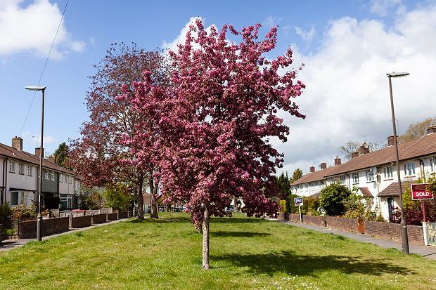 Cherry Blossom in Long Close-1.jpg