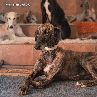 FREE THE GALGO 201941.jpg