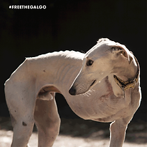 FREE-THE-GALGO-201927.png