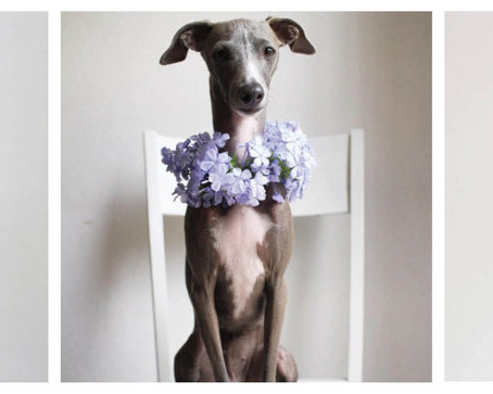 Life of Fergie. A cute Italian Greyhound from South Africa.