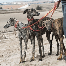 FREE-THE-GALGO-201940.png