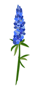 Bluebonnet picture.png