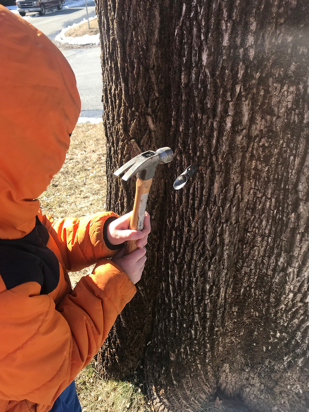 A small child, dressed in an orange winter coat, hammers a metal maple tap into a large maple tree