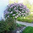 Korean Lilac.jpg