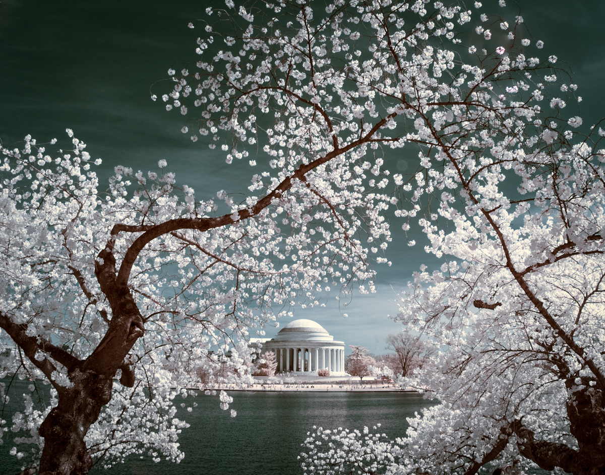 Cherry blossoms over Jefferson