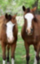 2 Arabian Horses brother and sister