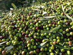 "Olive qualità ""CANINO"""