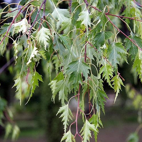 Береза повислая Далекарлика (Betula pendula Dalecarlica)