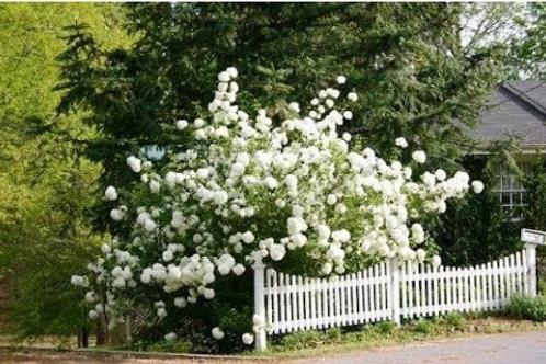 Калина обыкновенная «Roseum» (Viburnum opulus «Roseum»)