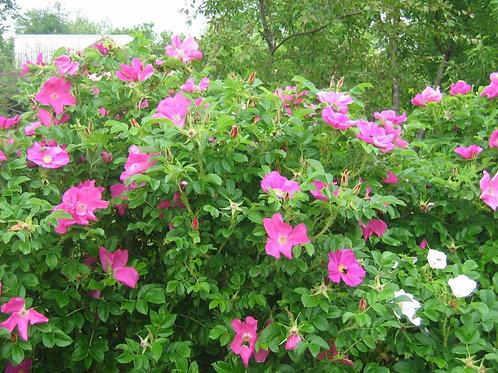 Роза морщинистая (Rosa rugosа)
