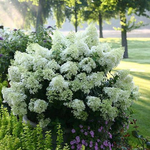 Гортензия метельчатая Бобо (Hydrangea paniculata Bobo)