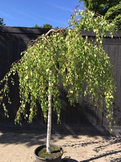 Береза повислая Юнги (Betula pendula Youngii)