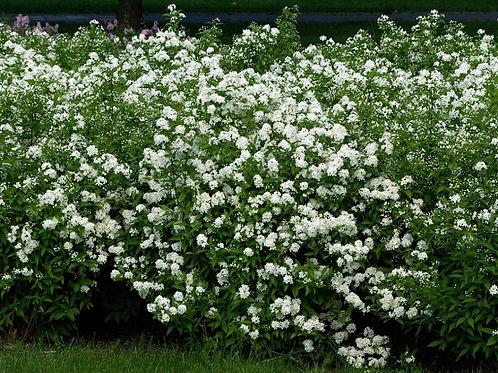Спирея японская Альбифлора (Spiraea japonica Albiflora)