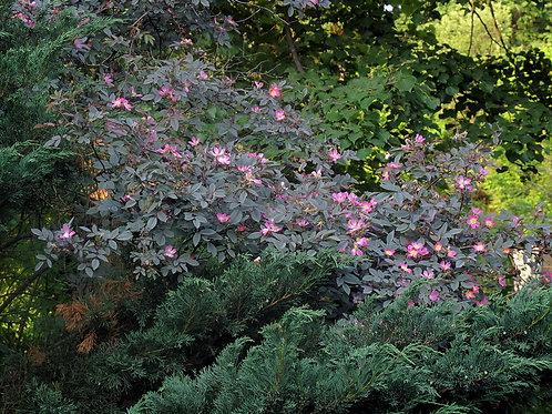 Роза сизая (Rosa glauca)