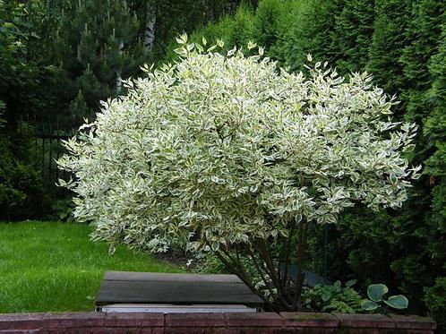 """Дерен белый """"Элегантиссима"""" (Cornus alba """"Elegantissima"""")"""