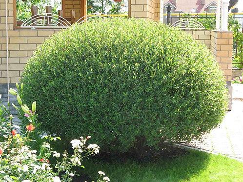 Ива пурпурная Нана (Salix purpurea 'Nana')