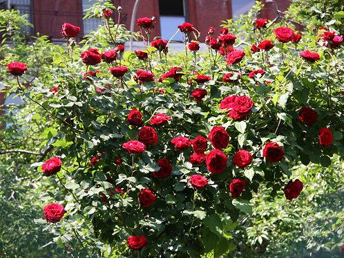 Роза плетистые «Дон Жуан» (Don Juan)