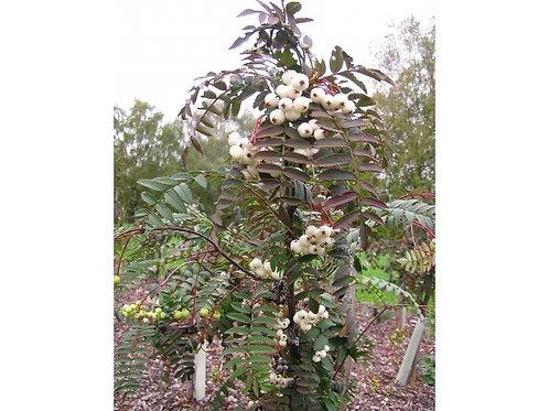 Рябина Кёне (Sorbus koehneana)