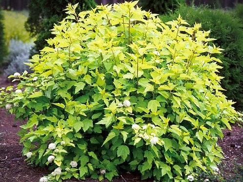 """Пузыреплодник калинолистный """"Дарт'с Голд"""" Physocarpus opulifolius 'Dart's Gold'"""