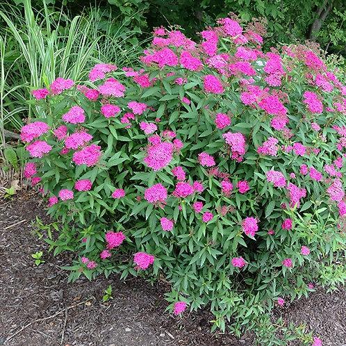 Спирея японская Антони Ватерер (Spiraea japonica Anthony Waterer)