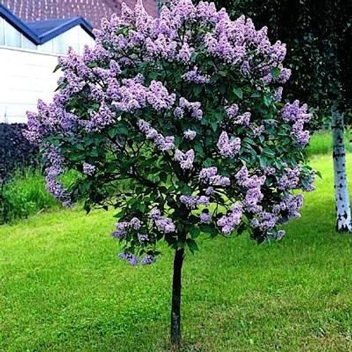 Сирень обыкновенная «Charles Joly»  (Syringa vulgaris «Charles Joly»)