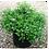 Thumbnail: Спирея японская Литтл Принцесс (Spiraea japonica Little Princess)