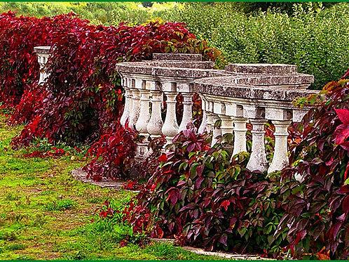 Виноград де́вичий пятилисто́чковый (лат. Parthenocíssus quinquefolia)