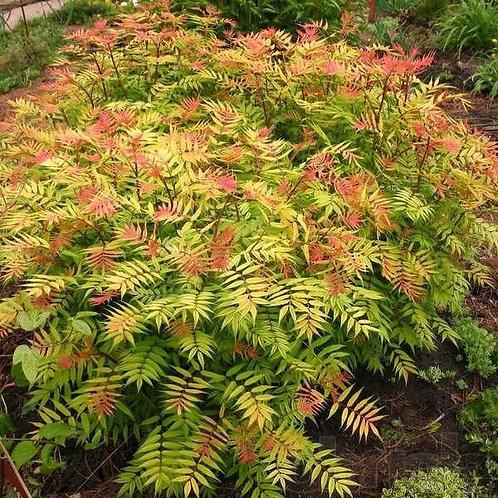 Рябинник рябинолистный «Sem»  (Sorbaria sorbifolia «Sem»)