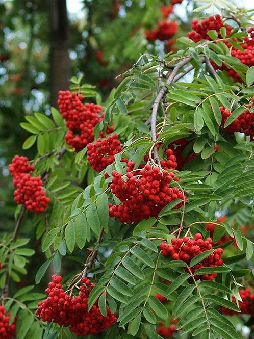 "Рябина обыкновенная ""Пендула"" (Sorbus aucuparia 'Pendula')"