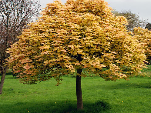 "Клён ложноплатановый ""Brilliantissimum""  Acer pseudoplatanus ""Brilliantissimum"""