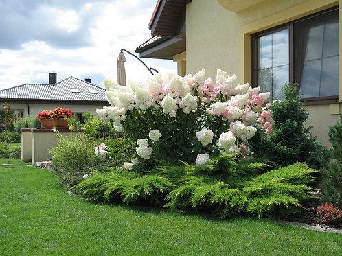 Гортензия метельчатая (Hydrangea paniculata `Vanille Fraise`)