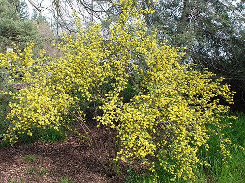 Смородина золотистая (Ribes aureum)