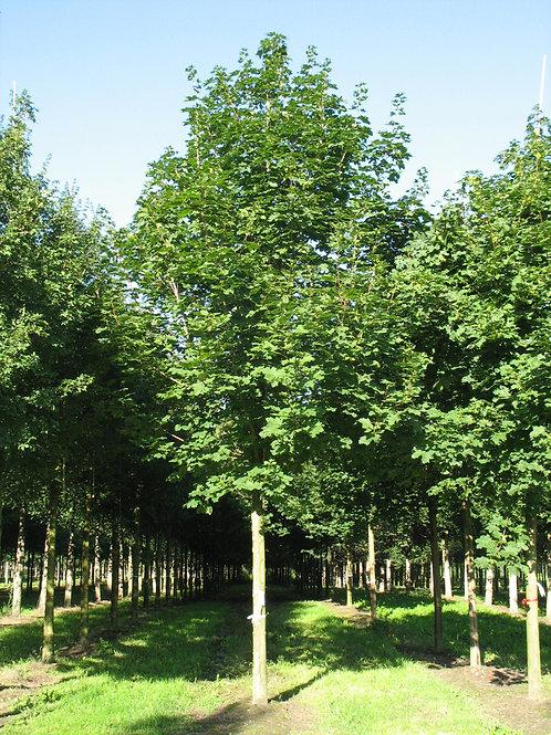 """Клен остролистный """"Фарлейк'с Грин"""" (Acer platanoides 'Farlake's Green)"""
