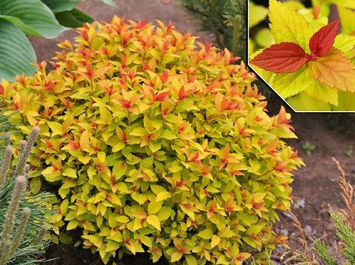 Спирея японская 'Файерлайт' Spiraea japonica 'Firelight'