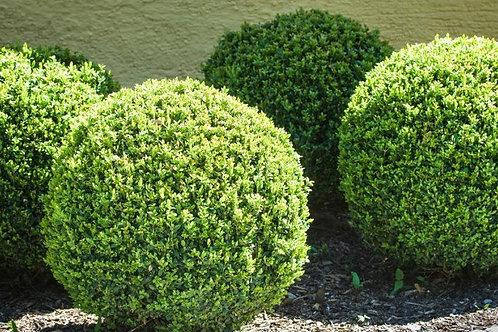Бирючина обыкновенная (Ligustrum vulgare)