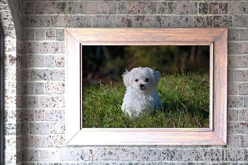 fotografia,animais,animal,cachorro,branco,maltês,fototela,poster,gravura,reprodução,réplica,canvas,tela,pintura,fine art