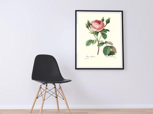 Redouté,botânico,flores,flor,rosa,mucosa,124,rosas,quadro,poster,gravura,canvas,réplica,reprodução,tela,pintura,fototela