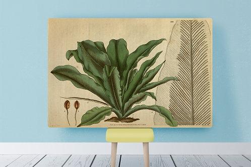 Samuel Curtis, Botânico,quadro,poster,replica,gravura,canvas, reprodução, tela, fototela, tela pintura,releitura