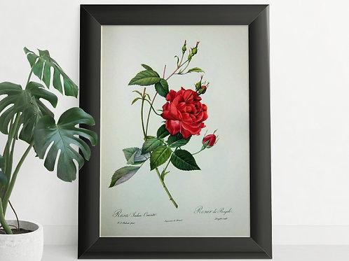 Pierre-Joseph Redouté,botânico,flores,flor,rosa,rosas,quadro,poster,gravura,canvas,réplica,reprodução,tela,pintura,fototela