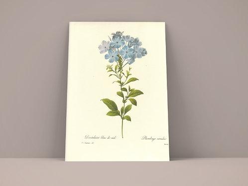 Pierre-Joseph Redouté,botânico,Dentelaire blue,quadro,poster,gravura, canvas, réplica, reprodução, tela, pintura, fototela