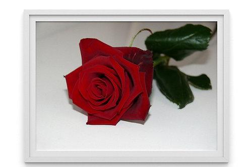 fotografia,Fototela,Rosa vermelha,flor,quadro,canvas,poster,replica,gravura,reprodução,fototela,tela,pintura
