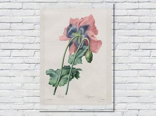 Pierre-Joseph Redouté,botânico,flores,flor,papoula,quadro,poster,gravura,canvas,réplica,reprodução,tela,pintura,fototel